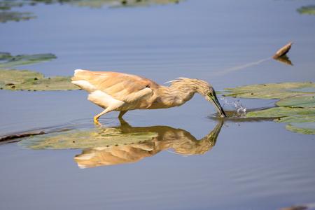 Squacco (Ardeola ralloides)