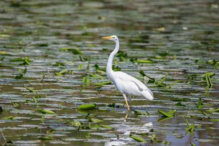 white heron (Ardea alba)