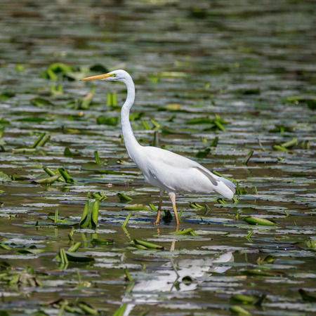 white heron (Ardea alba) closeup photo