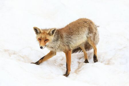 fox in the Gran Paradiso national park