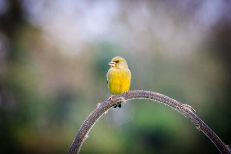 greenfinch laid on a branch