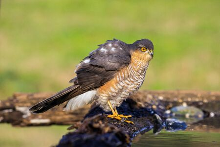 sparrow hawk laid in front of a pool of water Stock Photo