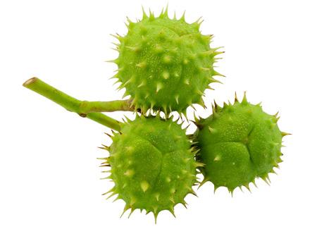 �spiked: Tres verde se dispar� casta�as en un fondo blanco puro Foto de archivo