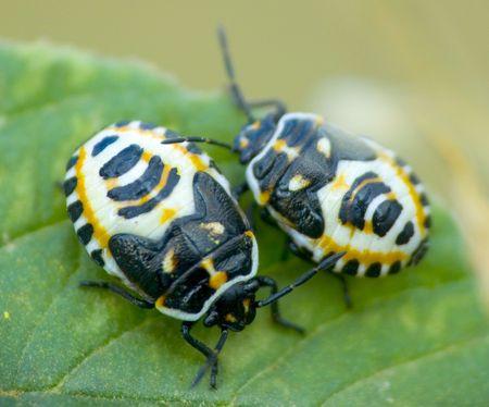 coleoptera Stock Photo