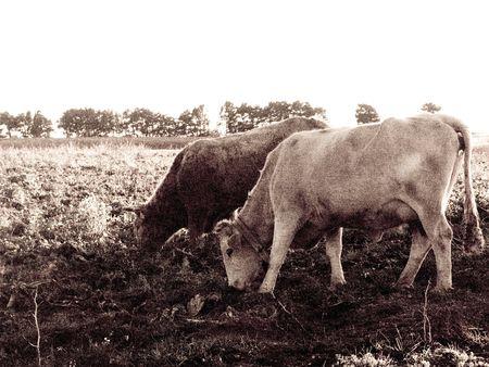 cows Stock Photo - 303236