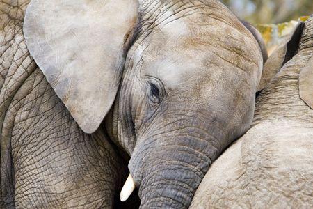 pachyderm: elephants