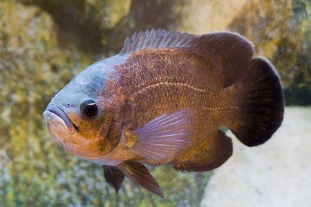 acanthurus leucosternon: fish