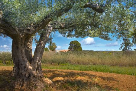 olive tree Stock Photo