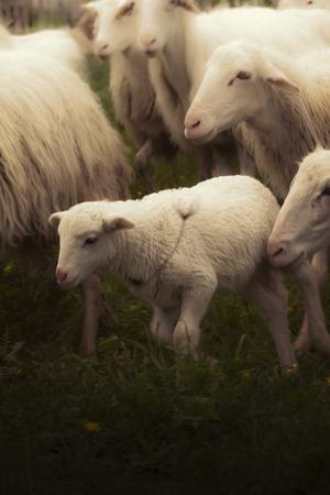 s horn: sheep