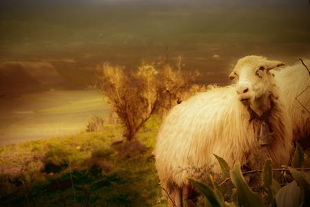 rock wool: sheep