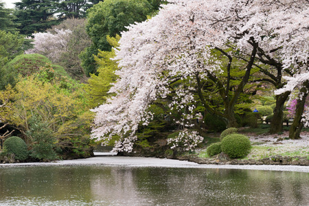 sakura arbol: El �rbol de Sakura Foto de archivo