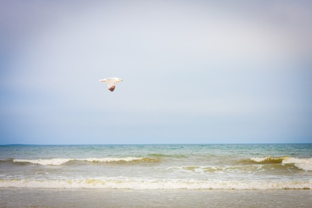 unattached: lonely seagull flying over the ocean in Maine, USA on a beautiful day