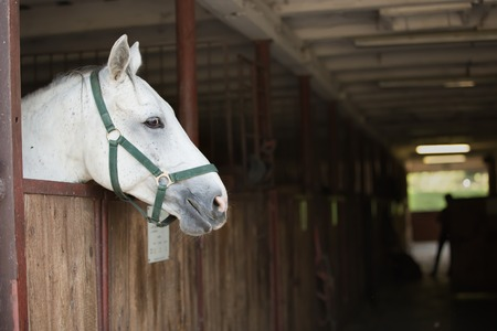 head of a beautiful white horse sticking out of a stall Imagens
