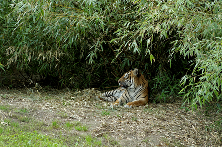 hideout: tiger lying in a bamboo thicket Stock Photo