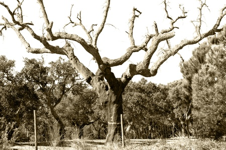divergence: amazing  B W branching Tree structure, representing the evolutionary divergence of all living creatures