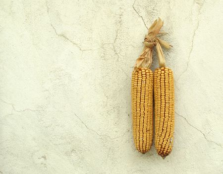 Two corn maize cobs hanging on old white wall