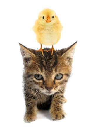 Cute chick is standing on top of head of lovely kitten kitty cat baby animals isolated on white background Imagens