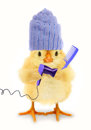 Cute chick is drying hair chicken with towel and holding electric dryer and comb funny conceptual photo