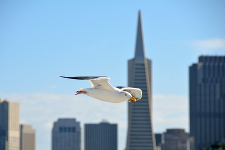 Seagull in flight with San Francisco cityscape in the background photo