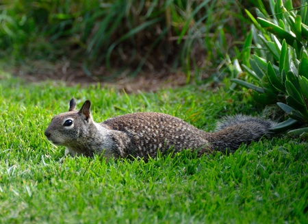 californian: Californian ground squirrel running through a grassy field