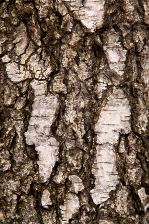 birch bark close up as background photo