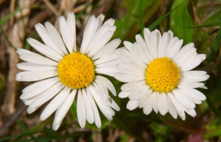 unity small flower: Two daisies close-up as background
