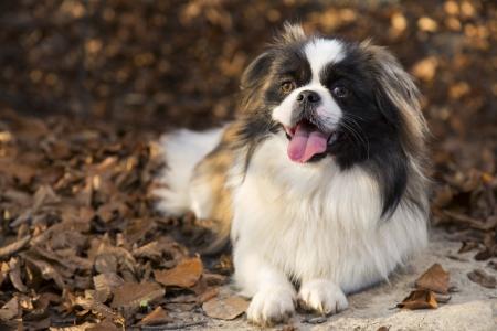 pekingese: Pekingese dog in autumn park