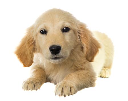 labrador dog on a white background photo