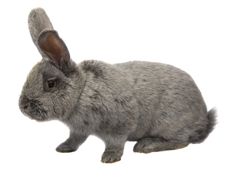 gray rabbit on a white background photo