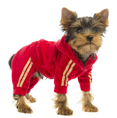 white clothing: dog in a tracksuit on a white background Stock Photo