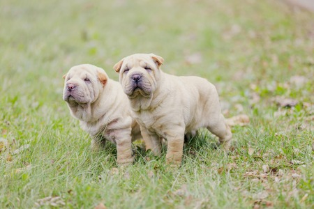 Two Shar Pei puppies in nature photo