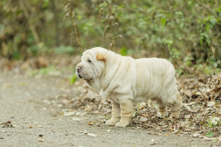 sharpei: Shar Pei puppy in the open air