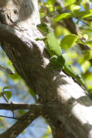 lavish: green iguana on tree