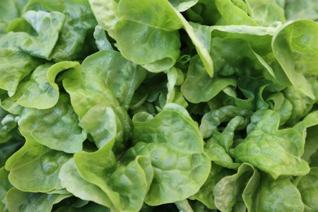 Fresh green and red lettuce on the market