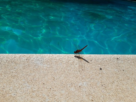 Close up beautiful pink dragonfly on the edge of the  swimming pool and blue  swimming pool  in background Stock Photo