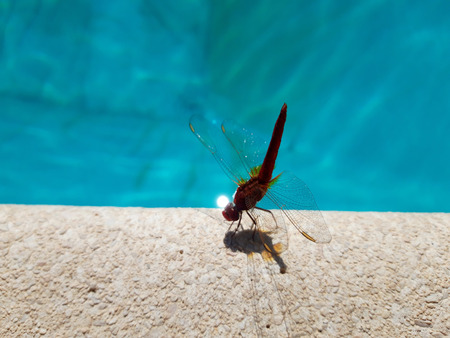 Close up beautiful pink dragonfly on the edge of the  swimming pool and blue  swimming pool  in background Archivio Fotografico