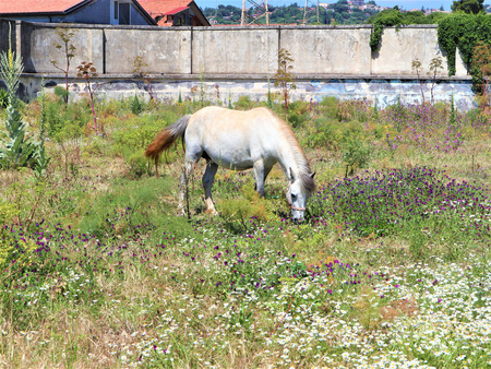 On a pasture of clean environment, young white horse is grazing peacefully.