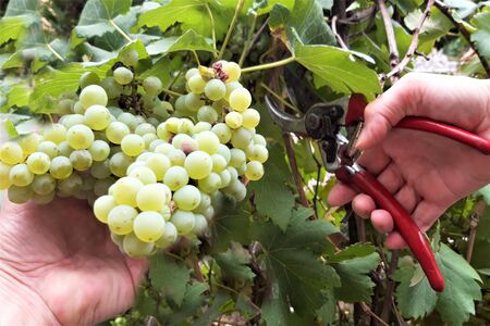 Farmer 's hands harvests red grape via secateur from a tree at vineyard
