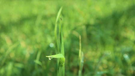 green grass close-up, dew drops glade, background. copyspace 版權商用圖片