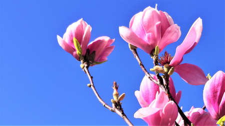 blooming magnolia against the blue sky. spring concept 版權商用圖片