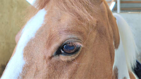 close-up of a horse's eye on a farm. Horse look. Brown horse with white patches.
