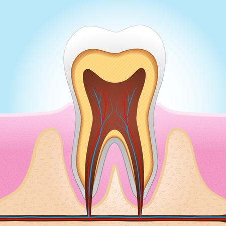 치아 섹션 벡터 의료 그림
