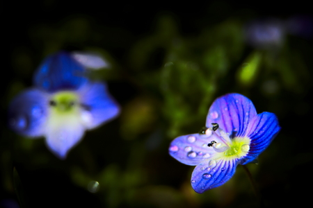 violets macro