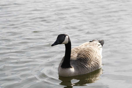 canadensis: canada goose on Sandhill Lake, Worksop Branta canadensis