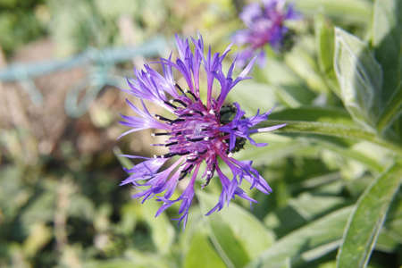 prosa: Prosa viola nel giardino. Worksop, Notts, Inghilterra Centaurea montana Archivio Fotografico