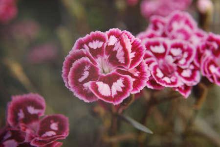 minx: close up of pink flowers in garden Mendlesham Minx