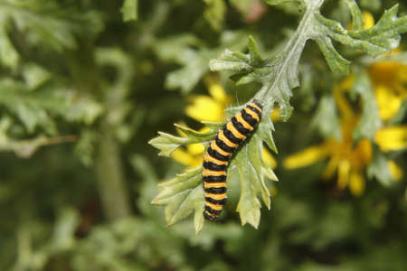 senecio: cinnabar catepillar on common ragwort leaf. Worksop, Notts, England Tyria jacobaeae Senecio jacobaea Stock Photo