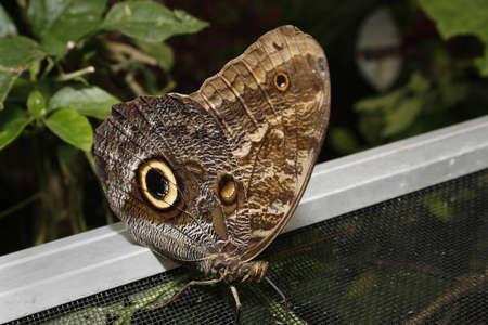 falconry: The Owl Caligo eurilochus Tropical Butterfly House, Wildlife & Falconry Centre, North Anston, South Yorkshire, England