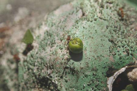 atta: foglia taglierina formiche Atta cephalotes Tropical Butterfly House, Falconry & Wildlife Centre, Nord Anston, South Yorkshire, Inghilterra