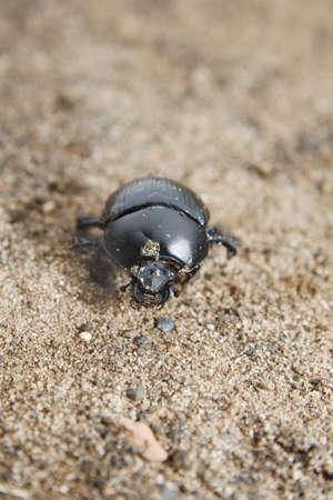 Dor beetle on sandy dirt Geotrupes stercorarius Stock Photo - 10182405